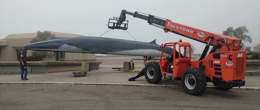 Pheena, the life-size fin whale replica, is held up by a forklift as she is moved for repairs.