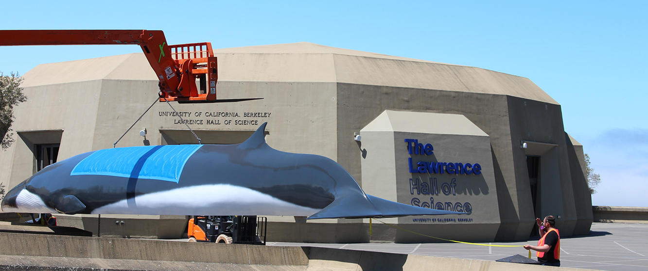 Pheena the whale returns to the Lawrence Hall of Science on a crane.